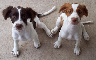 Brittany Spaniel Cute Puppies