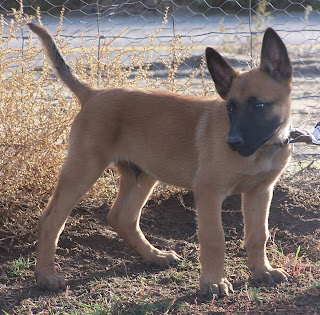 Belgian Malinois Cute Puppy Picture