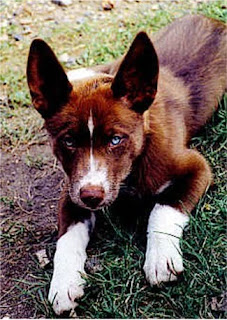 Australian Red Kelpie Dog