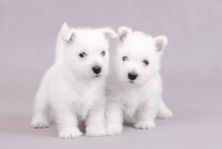 Westhighland Terrier Cute Puppies