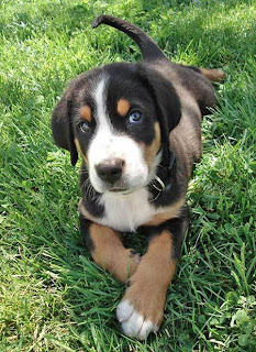 Greater Swiss Mountain Cute dog puppy
