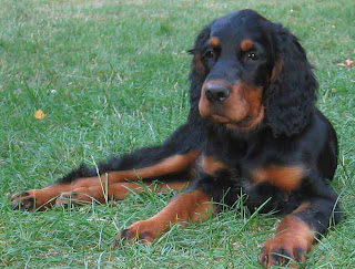 Gorden Setter Dog Breed Picture