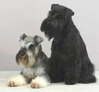 Giant Schnauze Dog Breed Image