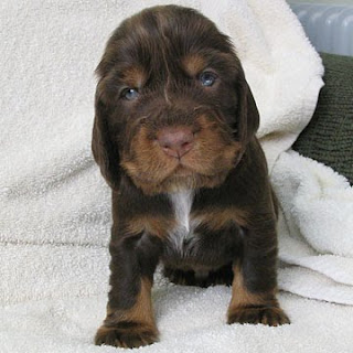 Field Spaniel Cute Puppy Breed
