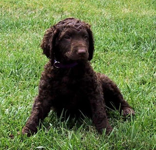 Curly Coated Retriever Puppies Picture