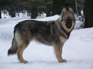 Alsatian Shepalute United States Dog Breed