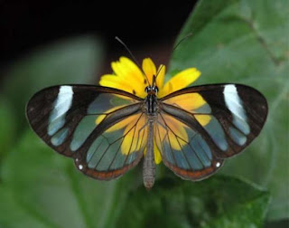 http://photowebs.blogspot.com/2006/03/transparent-butterfly.html