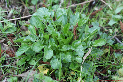 Barbarée, ou herbe de Sainte Barbe