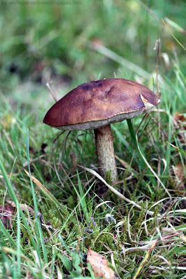 Bolet rude (leccinum scabrum)