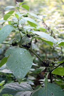 Morelle noire (solanum nigrum)