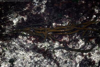Haricot de mer (himanthalia elongata)
