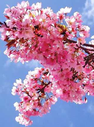 cherry blossoms wallpaper. cherry blossom japanese art