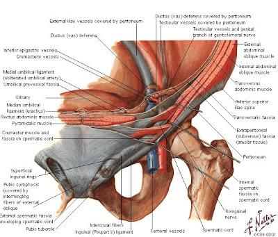 Tu Preparador de Anatomía: Región Inguinoabdominal - Anatomía humana ...