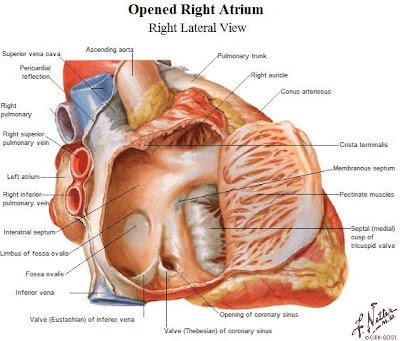 Tu Preparador de Anatomía: Configuración interna del atrio derecho y ...
