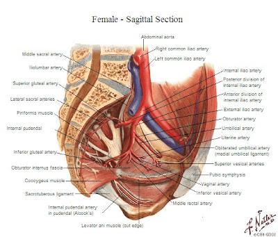 Tu Preparador de Anatomía: Arteria Ilíaca Interna - Anatomía humana ...