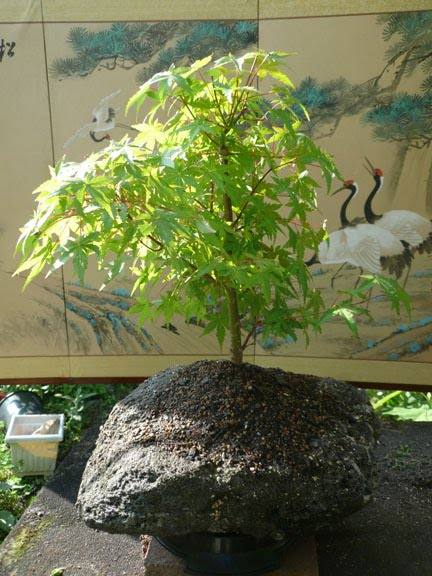 Japanese Maple On Rock