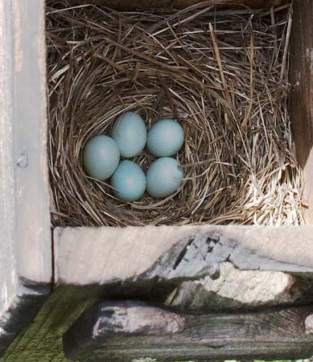 eastern bluebird eggs (Sialia sialis)