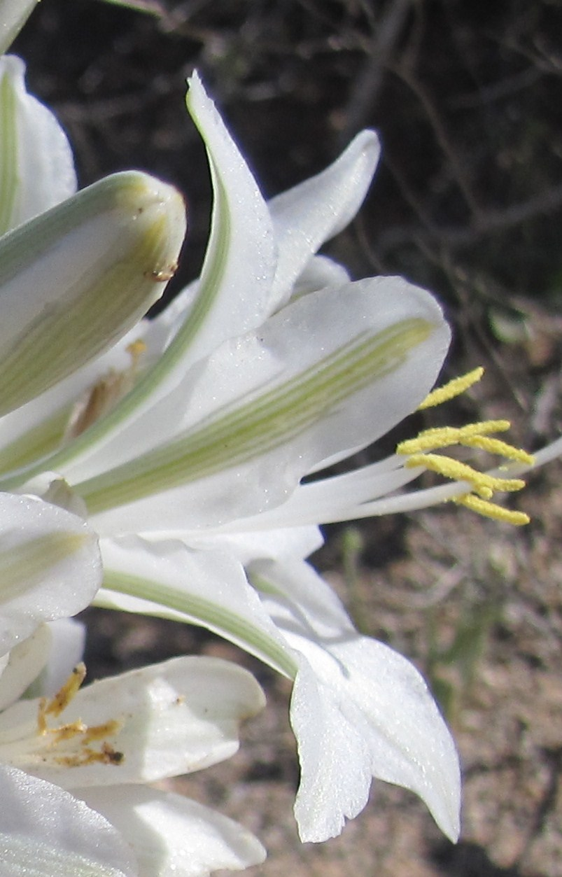 Cannundrums: Ajo Lily