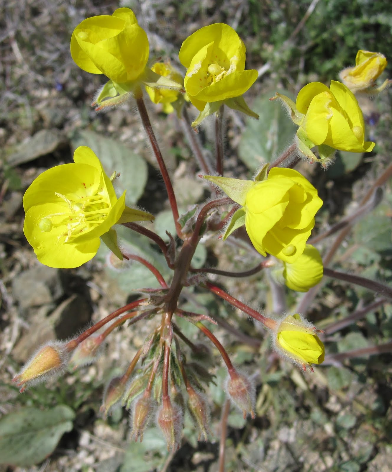 Cannundrums Yellow Cup Primrose Or Mojave Suncup