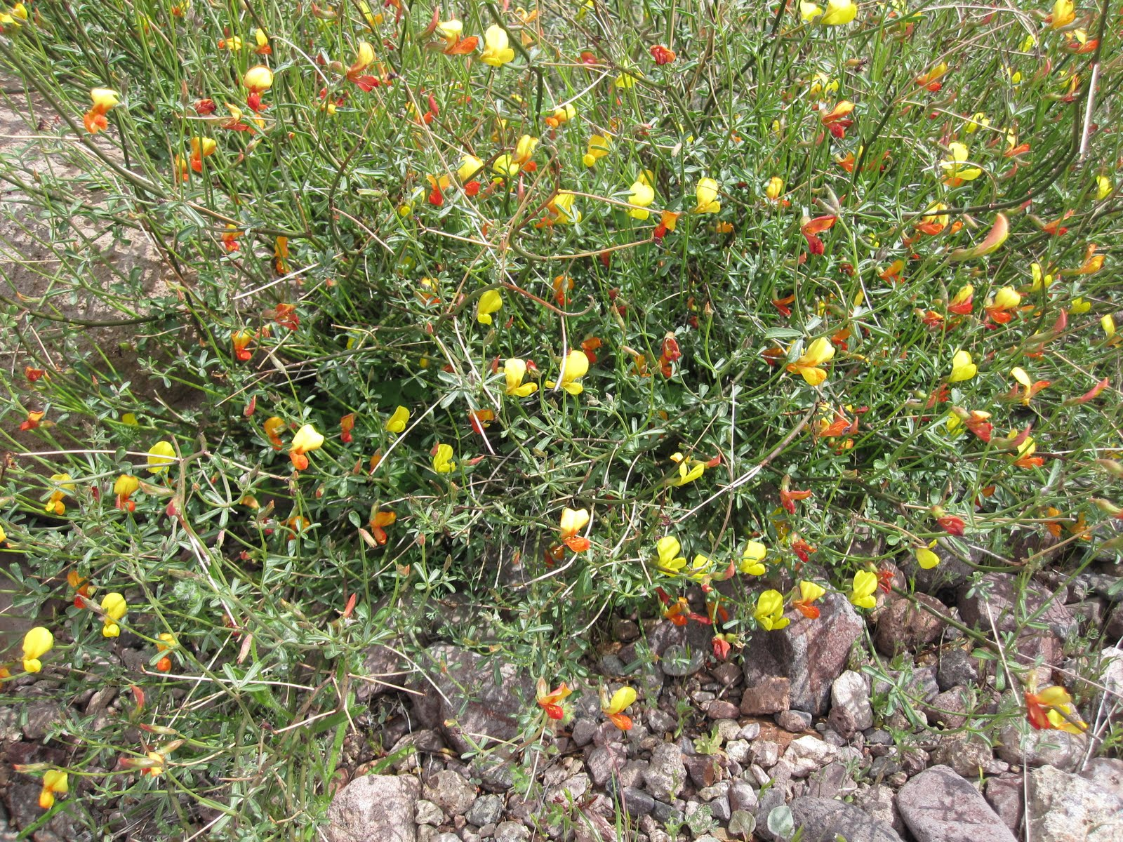 Cannundrums Shrubby Deervetch Or Desert Rockpea