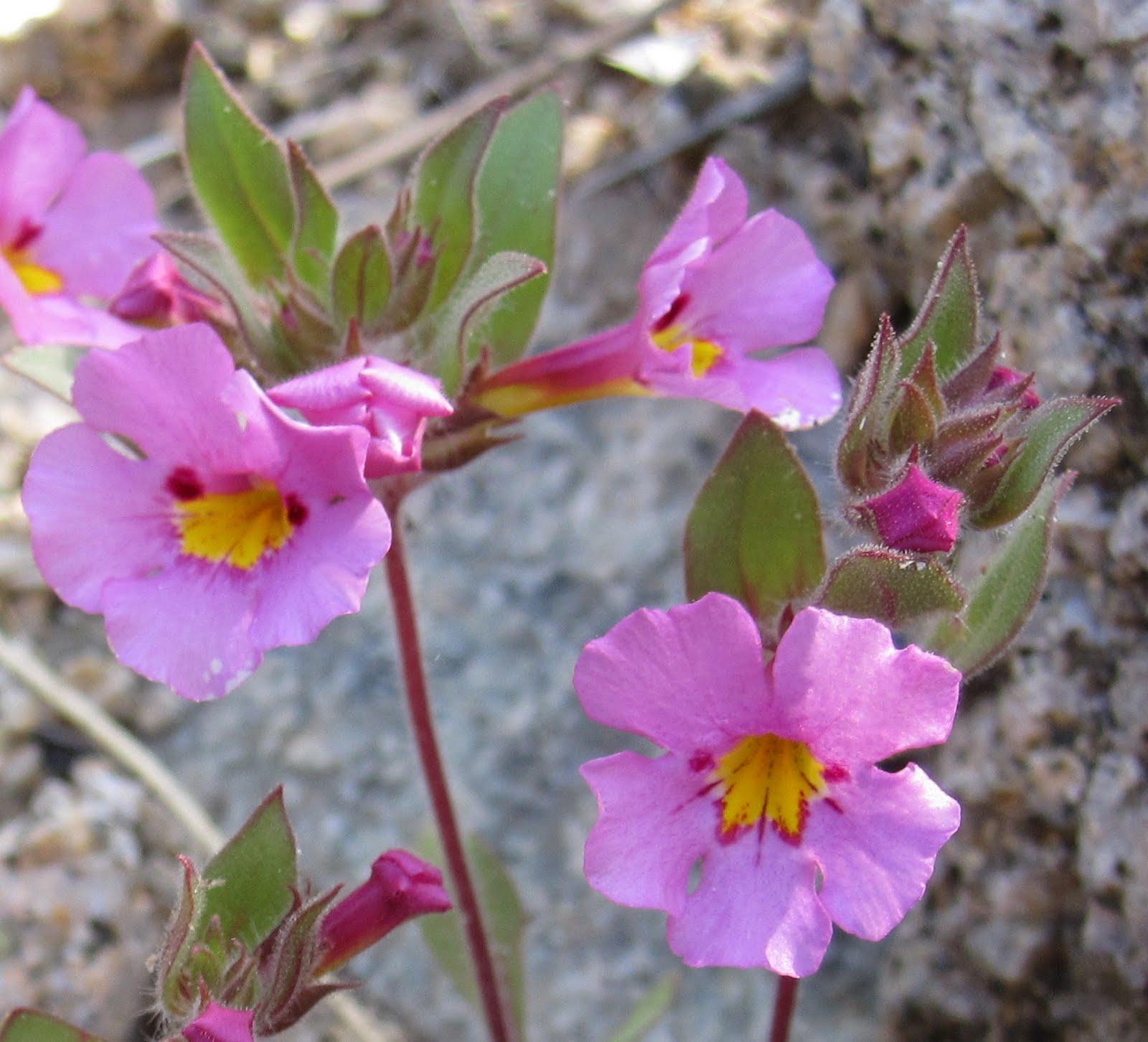 Cannundrums Bigelows Monkeyflower