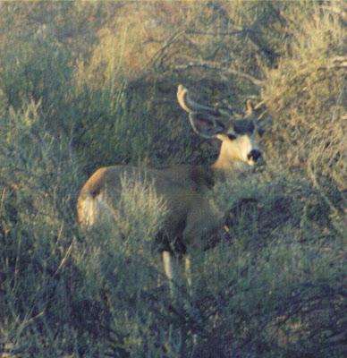 Mule Deer Live Oak Canyon