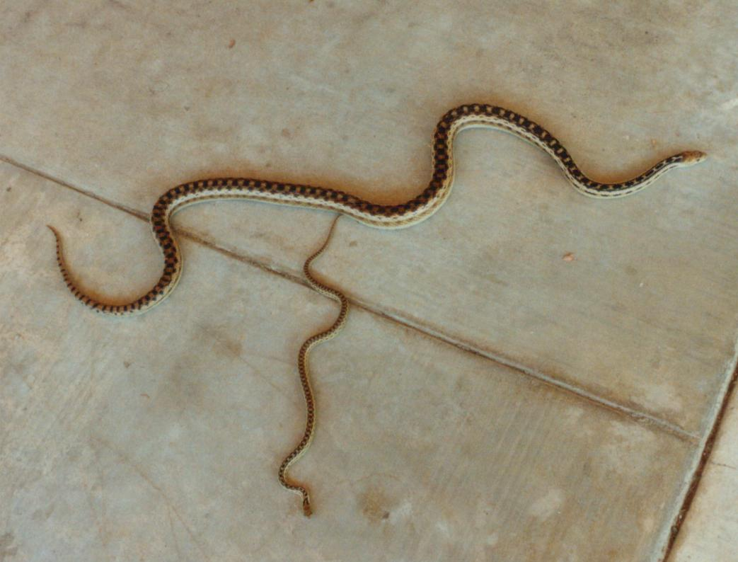 Cannundrums: San Diego Gopher Snake