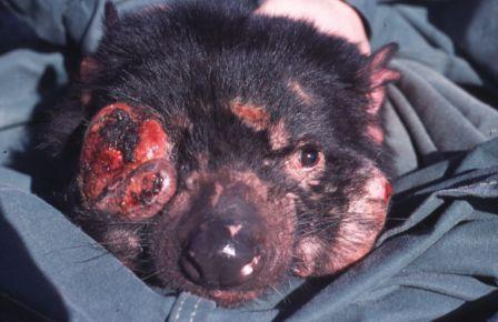 http://3.bp.blogspot.com/_H-AmDI_9xrA/S0HhqtIxEYI/AAAAAAAAJ1s/yugFEb0LCkk/s400/Tasmanian_Devil_Facial_Tumour_Disease.jpg