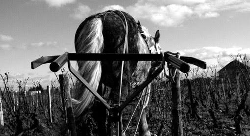 Économique et écologique, la traction animale revient - Plougastel-Daoulas