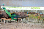EMERALD GREEN PEAFOWL