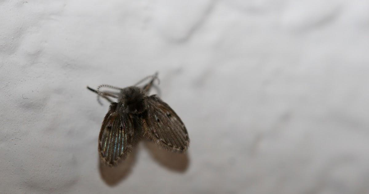 urban ipm those aren 39 t tiny moths you have drain flies. Black Bedroom Furniture Sets. Home Design Ideas