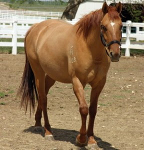 Red Dun Horse Color