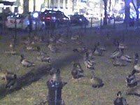 The Franklin Square ducks!