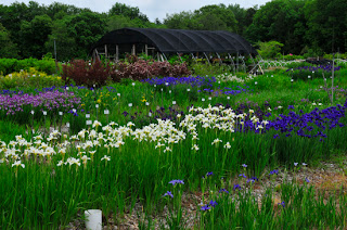 Irises of many colors in a garden