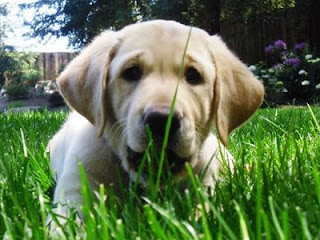 Reyna is pictured at 8 weeks old running with a leaf in her mouth