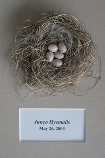 Black Junco Nest