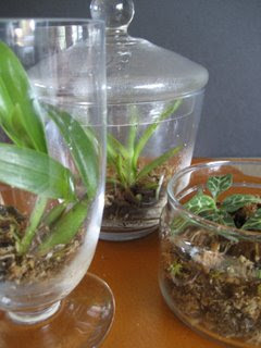 Miniature Orchids in Terrariums