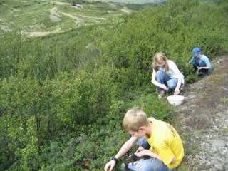 Blueberry Picking at Tangle Lakes