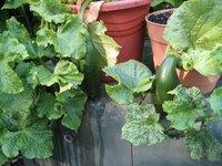 Cucumbers in Alaska