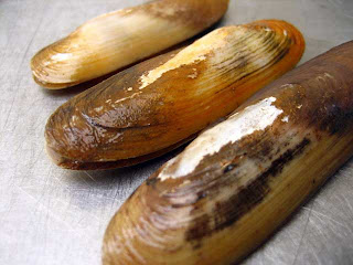 Razor Clams in Alaska