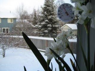 Paperwhites in Alaska