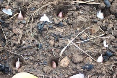 Adelaide kitchen gardeners planting garlic for Topsoil adelaide