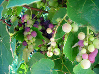 Wendy's ripening grapevine