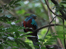 The Resplendent Quetzal