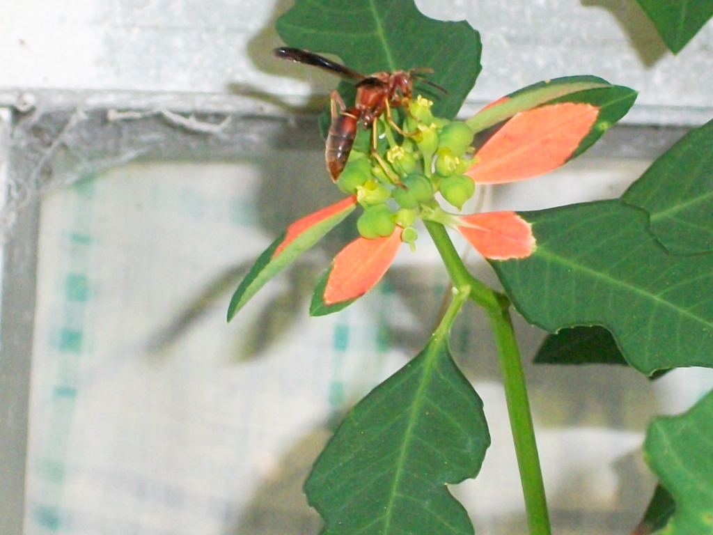 poinsettia plant how to look after it