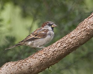 House Sparrow (Male), San Angelo State Park, ©2008 Jim Miller