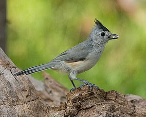 Black-crested Titmouse, (c) 2008 Jim Miller