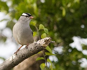 White-crowned Sparrow, San Angelo State Park, ©2008 Jim Miller