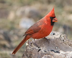 Northern Cardinal (Male), San Angelo State Park, ©2009 Jim Miller