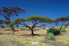 Acacia (shittim in KJV) tree in Ethiopia
